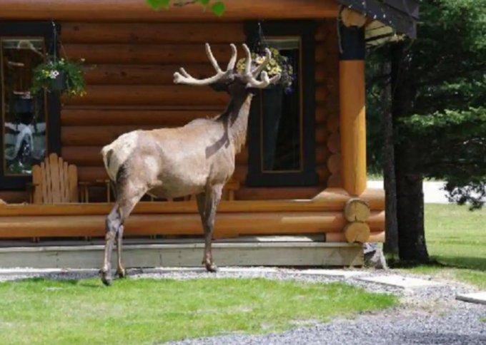 Castle Mountain cabin guest